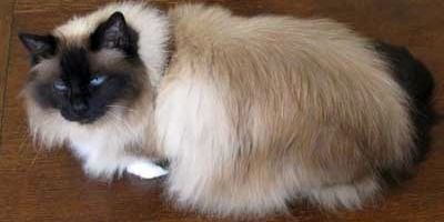 Seal Point Birman The first Birman Imperial Pedigree Pet