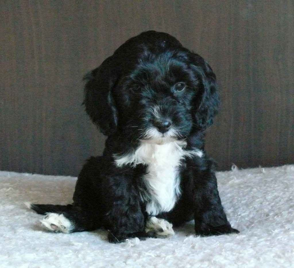 A Black N White Spoodle Too Cute Cute Dog Mixes Cute Animals