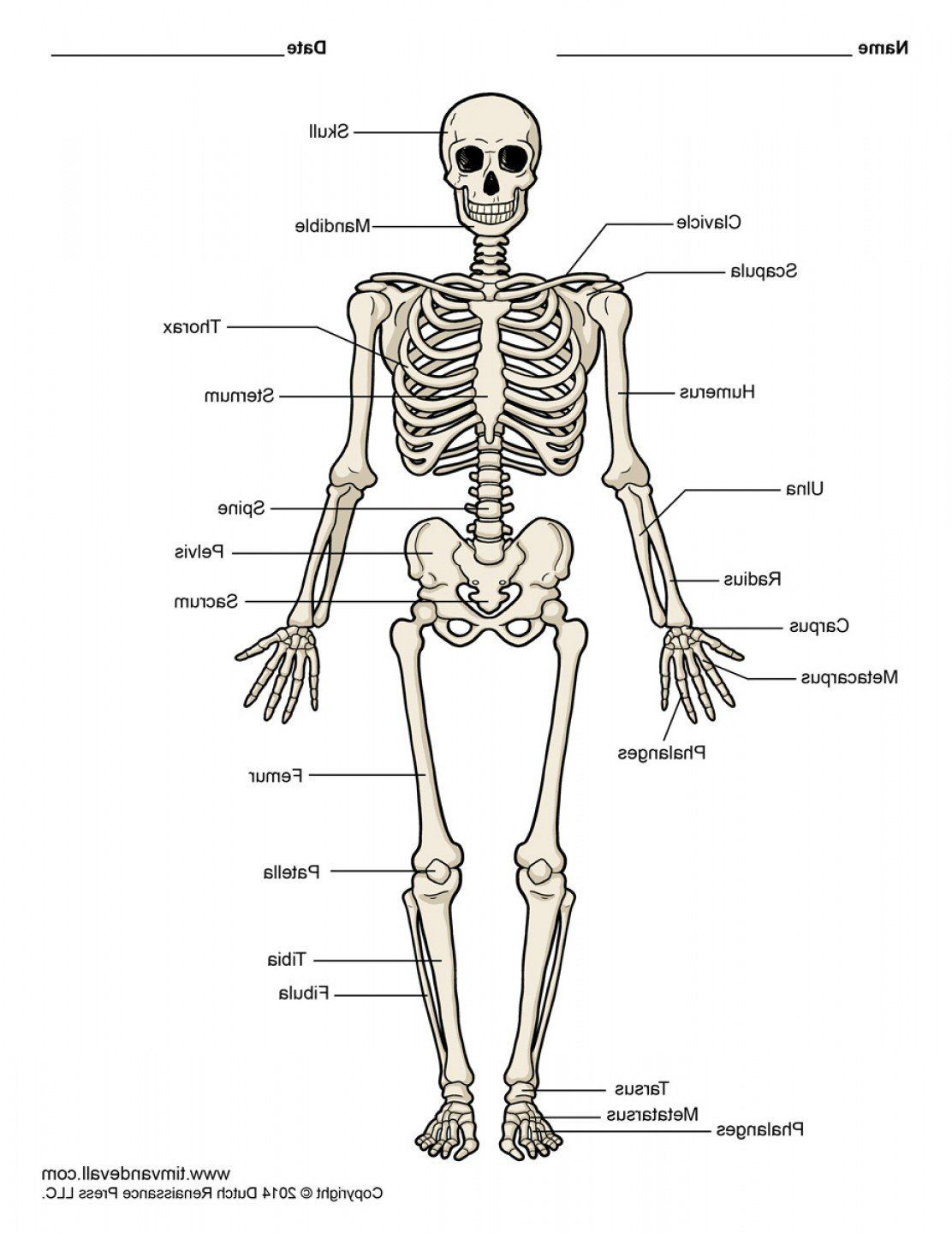 Label The Long Bone Appendicular Skeleton These Bones