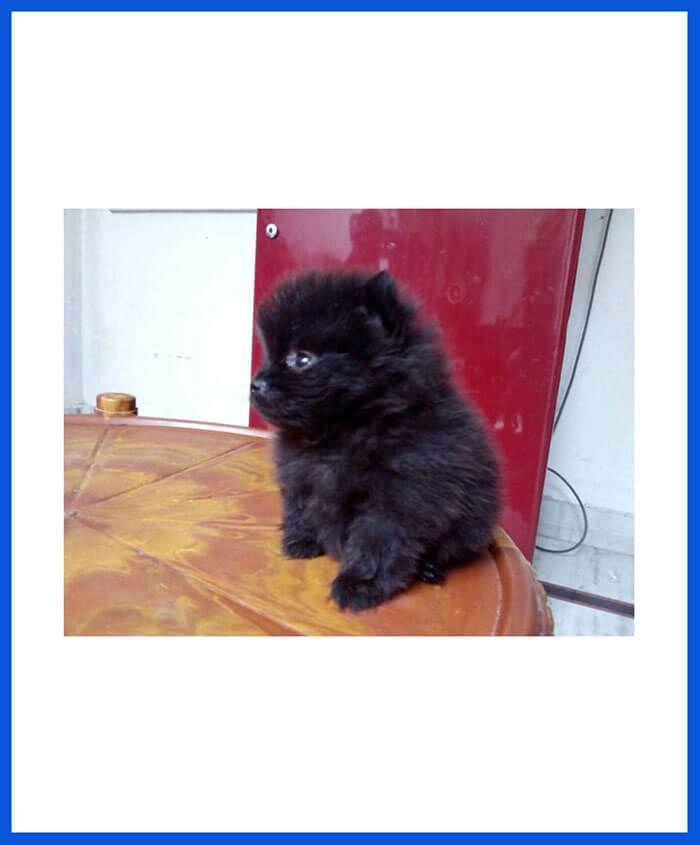 Pomeranian Dog Puppy For Sale Poddarkennel Call 9313005254