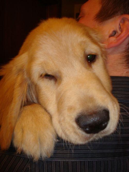Retriever Rescue Sacramento Golden Retrievers Golden Retriever