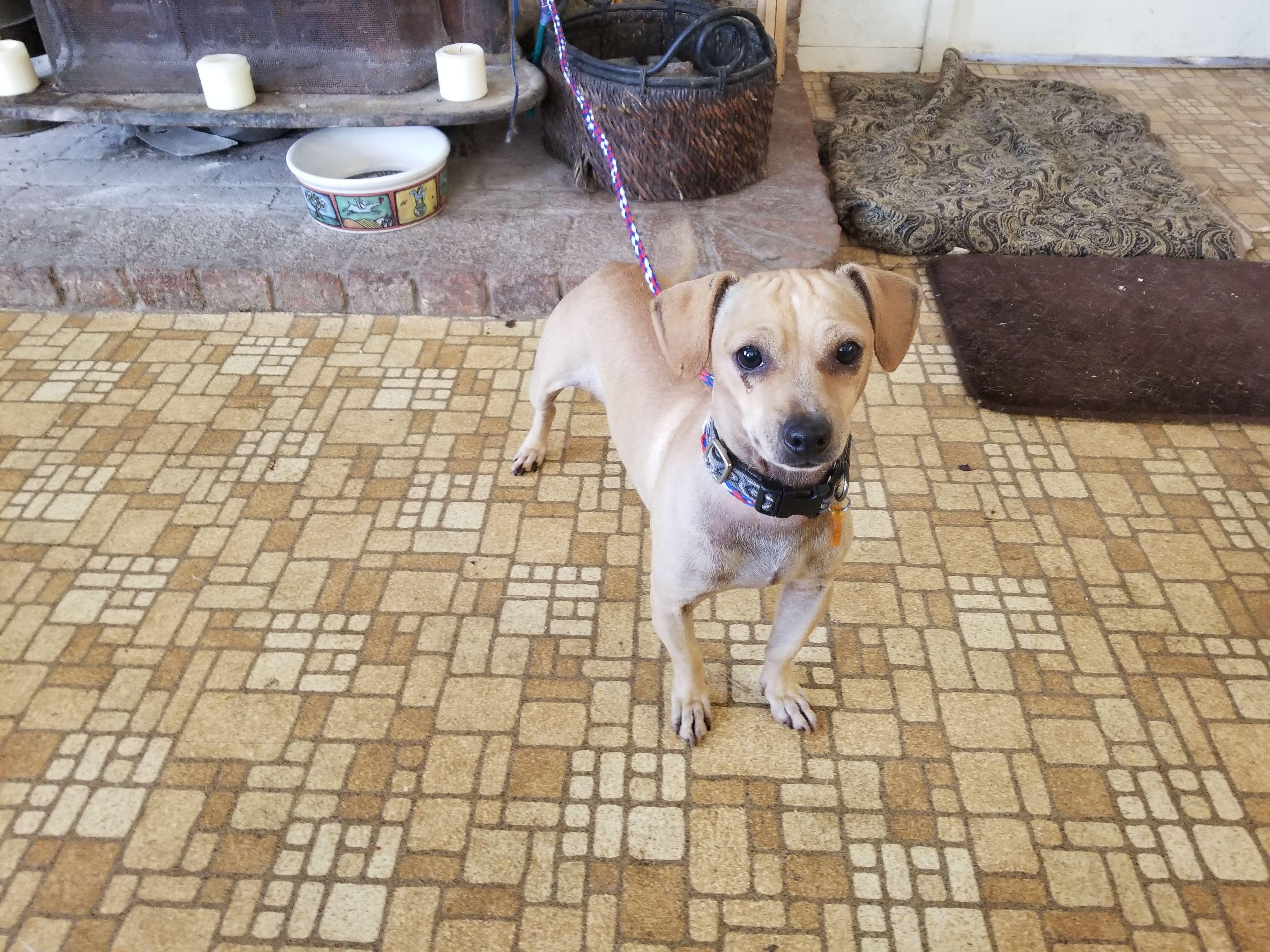 Doxle Dog For Adoption In Vacaville Ca Adn 722855 On Puppyfinder