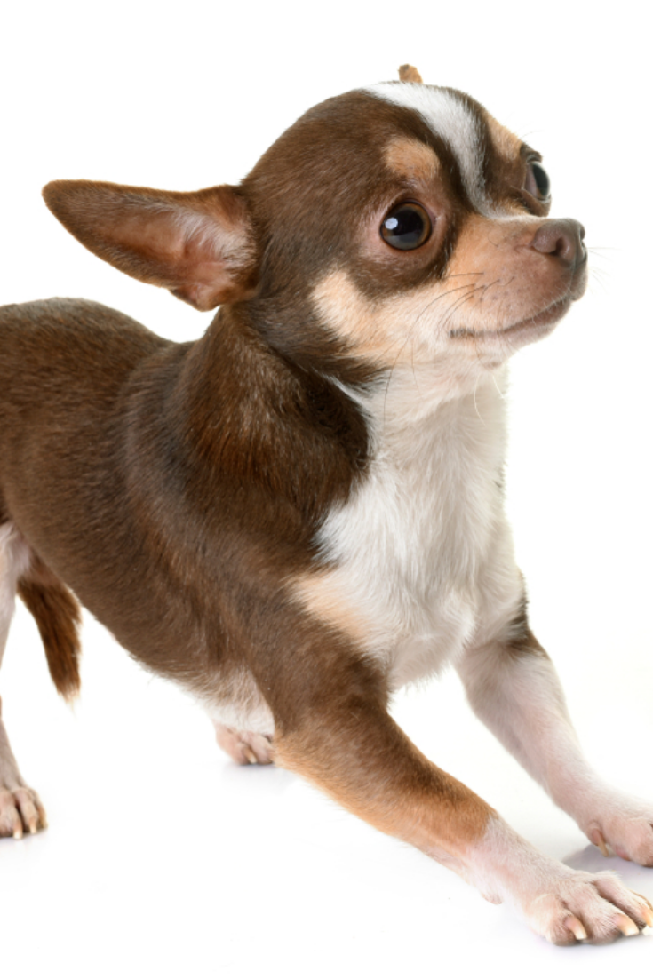 Young Chihuahua In Front Of White Background Chihuahua Love Chihuahua Dogs Chihuahua Puppies