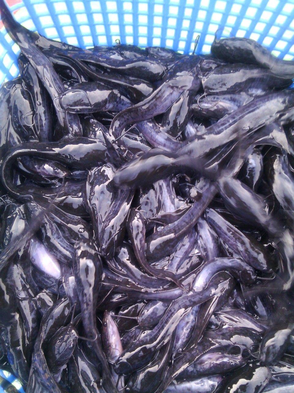 Catfish Fingerlings From Shyb Farms