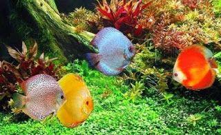 Bagai Mana Cara Budidaya Ikan Discus Yang Tepat Aquarium Air Tawar Ikan Akuarium Ikan Tropis
