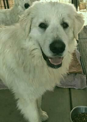 Meet Remy A Petfinder Adoptable Great Pyrenees Dog Temecula Ca
