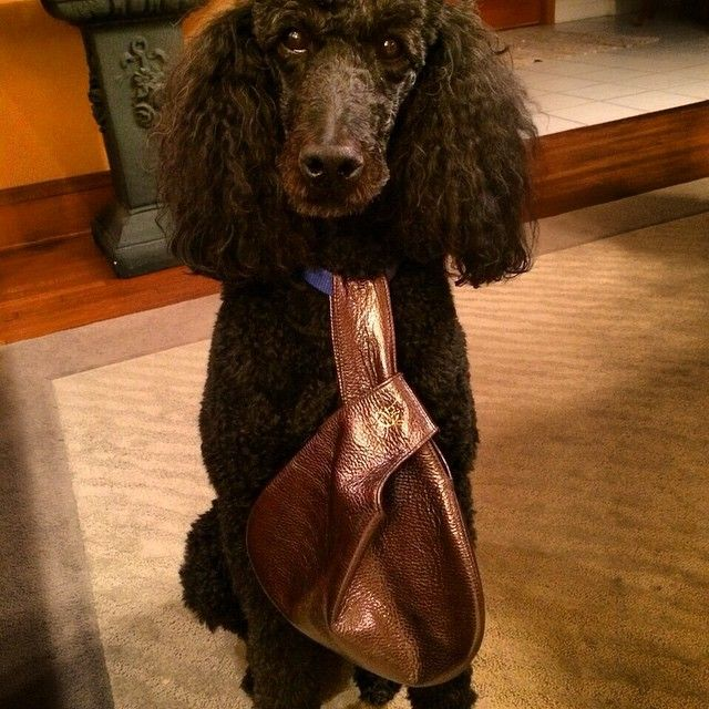 This little poodle will be the bell of her holiday parties thanks to her new Bija. xx, Bija #Bija #bijabags #metallic #handbags #fashion #christmasiscoming #wristie #sparkle #holidayparties #poodles #doglove #dogsandbags #poodlefashion #dogfashion #cute #love #dogs #pets #petlove