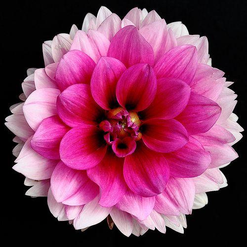 Dahlia Bluesette Dahlia Cactus Nain Vivaces Originaires Du Mexique Et D Amerique Centrale Les Differentes Formes De Fleurs Et Leur Dahlia Petales Fleurs