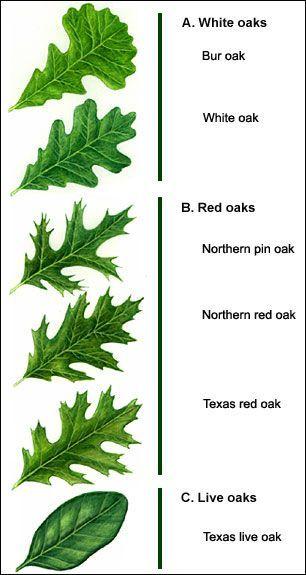 Image Result For Live Oak Leaf Identification