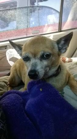 Lost Senior Female Chihuahua Obregon Park East Los Angeles Ca