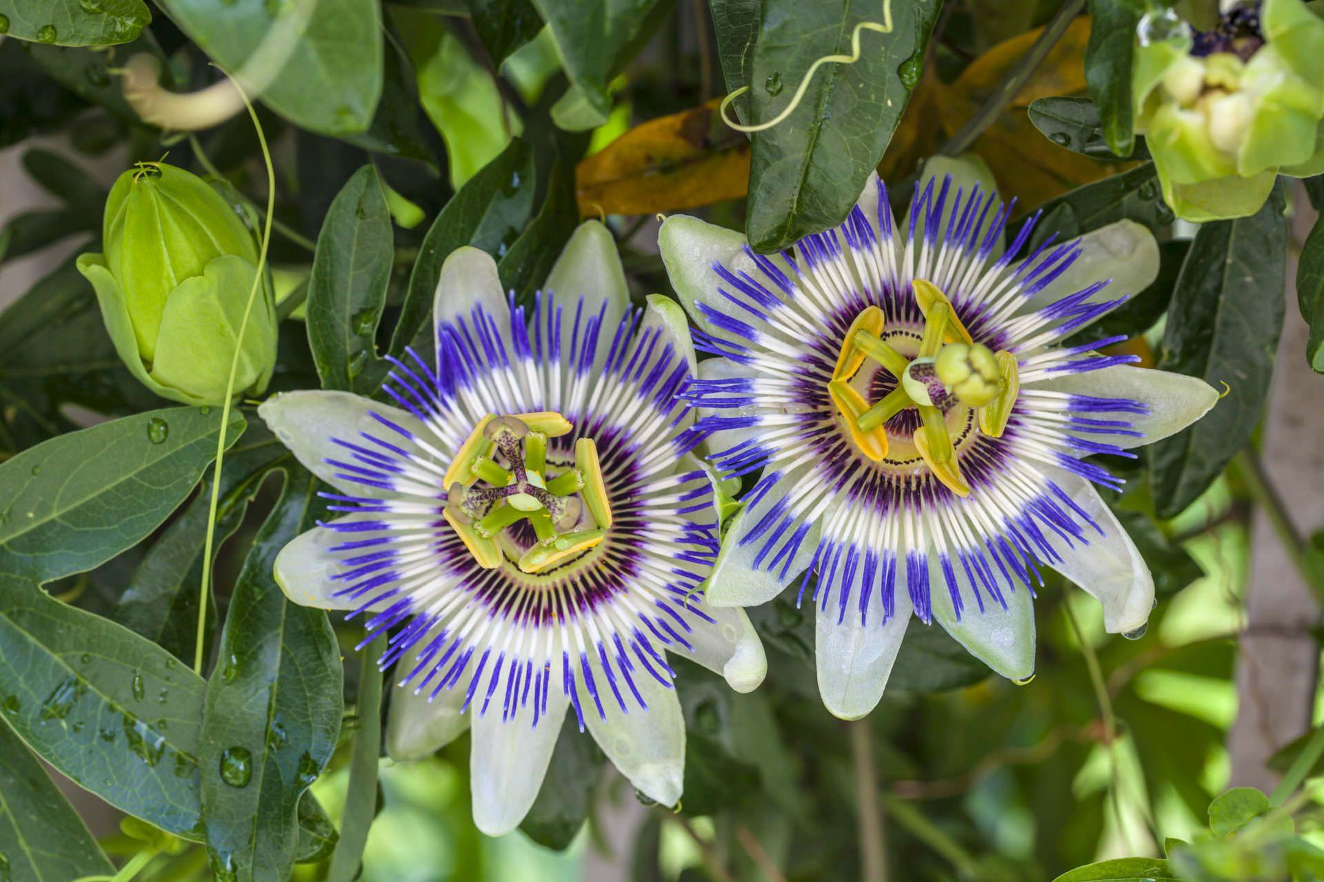 Passion Flower Blue For Sale At Desert Horizon Nursery Passiflora Caerulea Blue Passion Flower Passion Flower