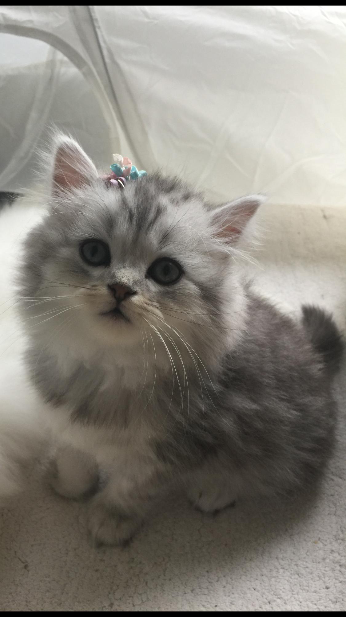 Pin By Belinda De Lange On Beautiful Kitten Persian And Chinchilla Kittens Cutest Beautiful Kittens Cute Cats