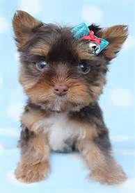 Yorkie Puppies For Sale Chocolate Yorkie Puppies For Sale In South