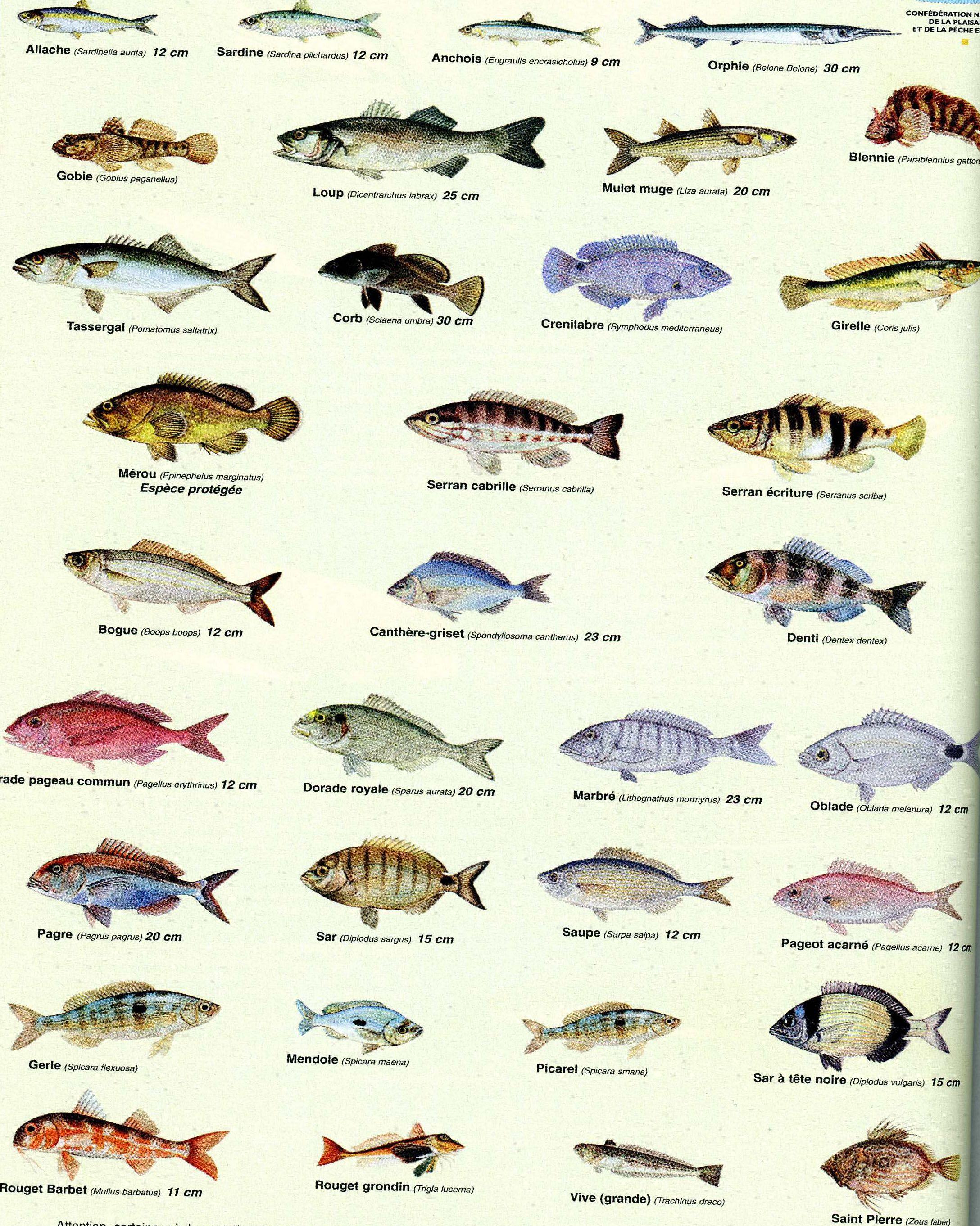 Les poissons animaux aquatiques pinterest les - Grand poisson de mer ...