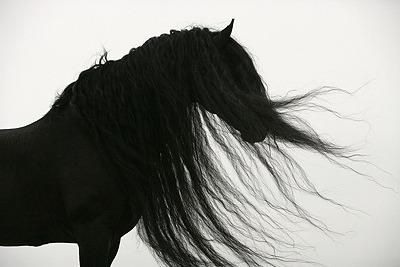 The typical Frisian horse, from the province of Friesland, the Netherlands. What a stunning horse!