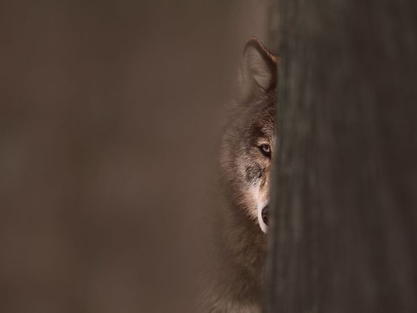 Jim Brandenburg has done some of the most beautiful photos of wolves.