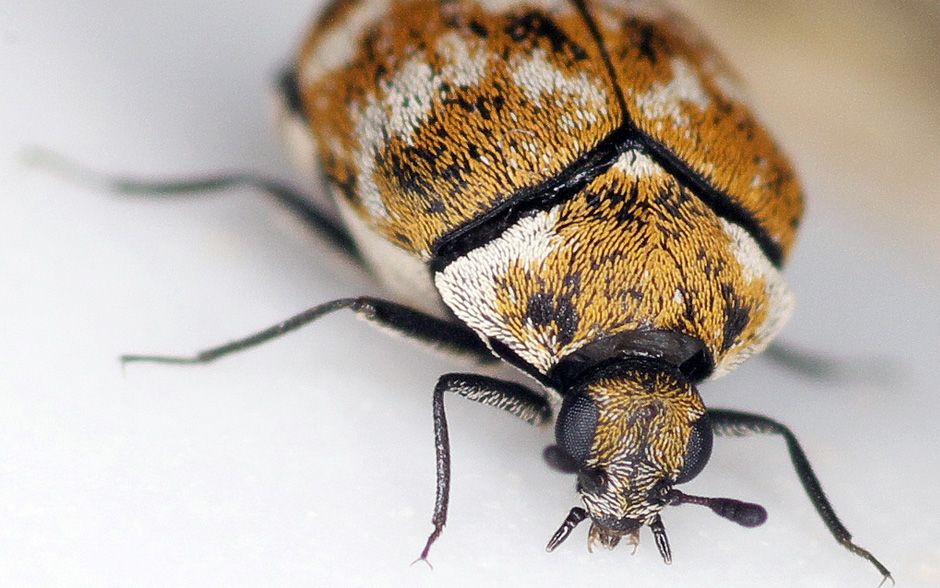 Causes And How To Get Rid Of Carpet Beetles Best Pest Control Insect Identification Pests