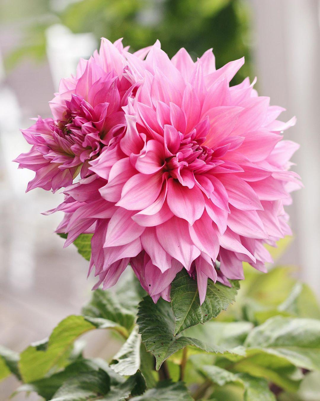 Knallrosa Cafe Au Lait Rose Cafeaulait Dahlia Trädgård Garden Blommor Flowers Flowerlover Puutarhankukat Instagarden Höst P Flowers Plants Rose