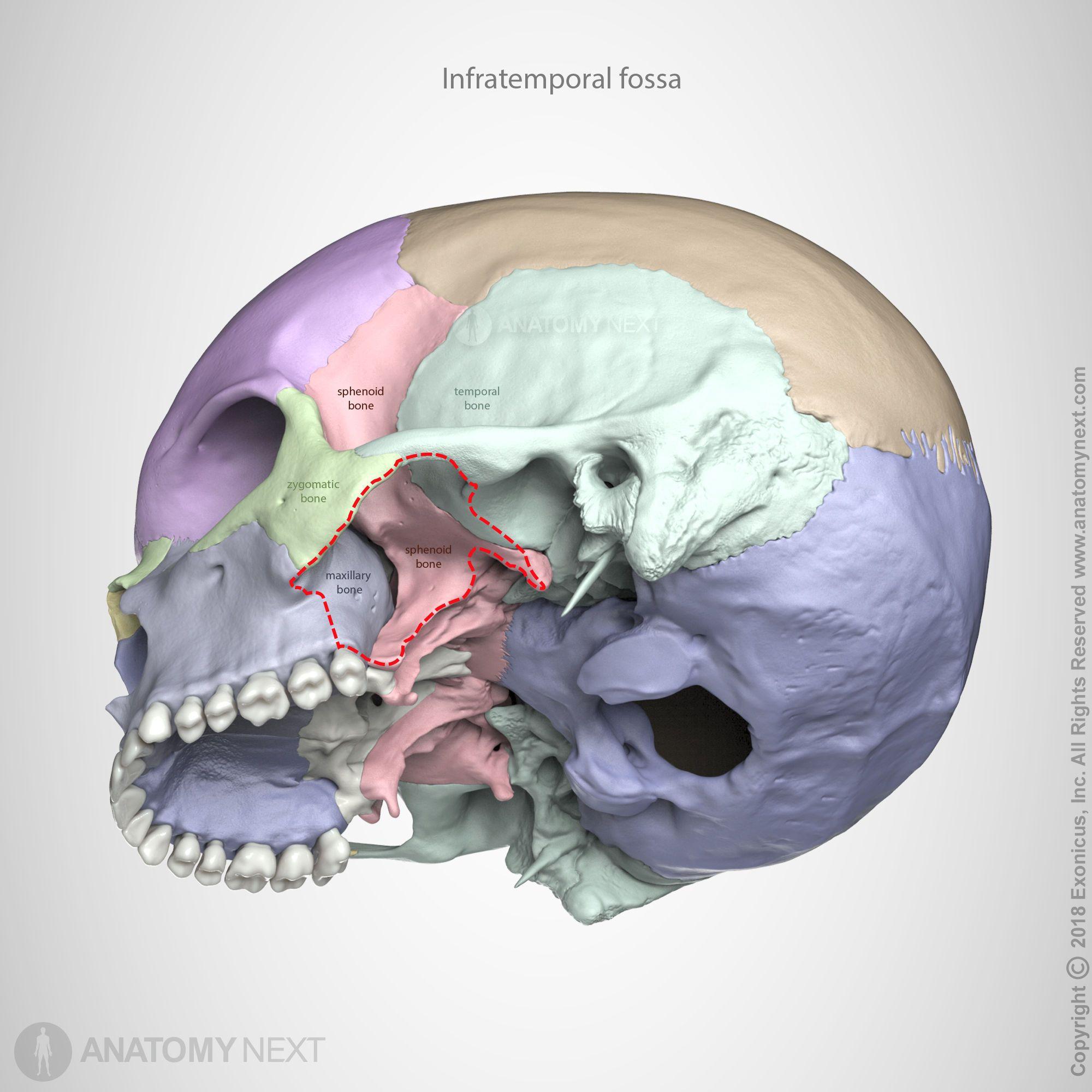 Infratemporal Fossa Cabeca E Pescoco Anatomia Ossos Conselhos Para Desenho Anteroinferiorly it articulates with the vomer. infratemporal fossa cabeca e pescoco