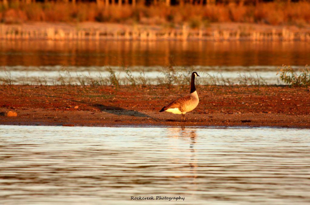 A Golden Goose at Sunset