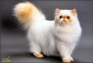 Kucing Persia Himalayan Cat Cats Pretty Cats