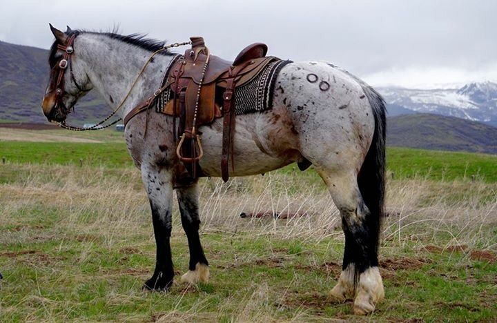 Draft Mare — Quarter horse draft cross gelding | Ideas for
