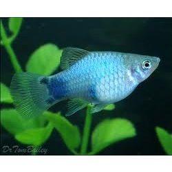 Blue Platy Fish Platy Fish Fresh Water Fish Tank Aquarium Fish