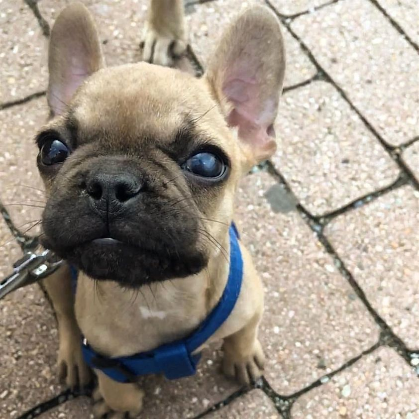 Koby Is A Good Name Frenchie Bulldogs Cute Pets Dogs Dogs