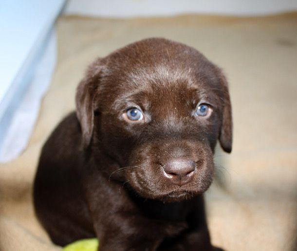 21 Adorable Chocolate Labrador Puppy Photos Labrador Retriever