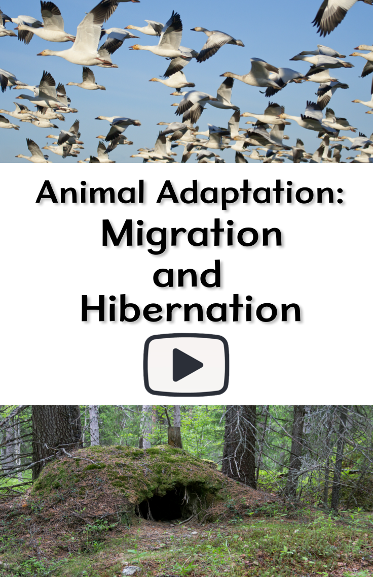 Animal adaptation: migration and hibernation | animal adaptations.
