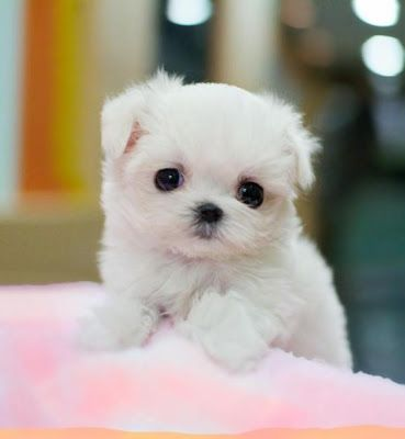 Cute Little Maltese Puppies And Dogs Cute Animals Puppies