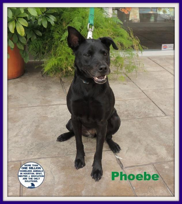 Adopt Phoebe On Black Labrador Retriever Adoption Black Labrador
