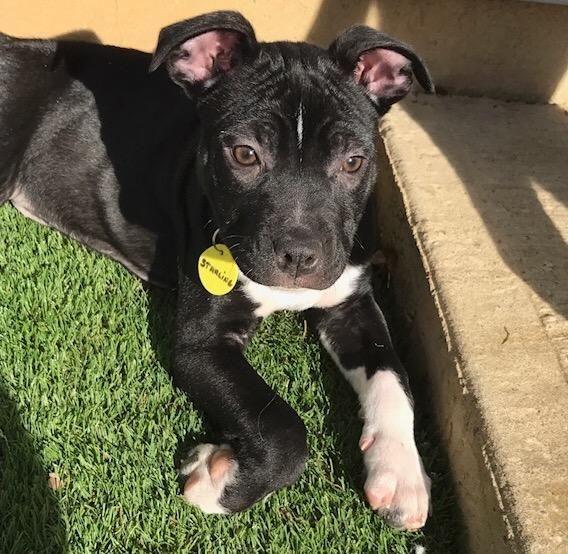 Adopt Starling On Dog Adoption Pet Adoption Animal Companions