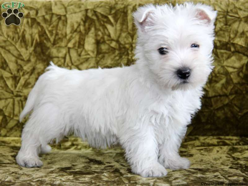 Gustav Westie Puppy For Sale From Paradise Pa Westie Puppies
