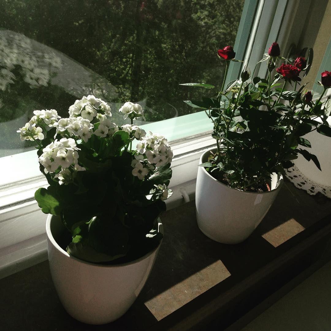 Solen tittar fram. Nån som vet vad den vita blomman till vänster heter? ✔️Sunshine and flowers. #blommor #krukväxter #miniros #krukor #öob #fönster #solsken #sol #mitthem #myhome #flowers #plants #pots #window #nordichome #inreda #inredning #interior #interiordecorating #interiordesign #scandinavianhome #hemma #home #fönsterbräda #sunshine #sun #blomkrukor