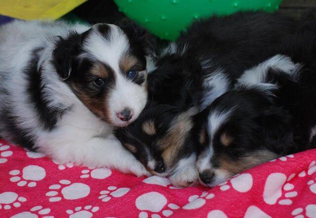 Sheltie Puppies Sheltie Puppy Sheltie Shetland Sheepdog