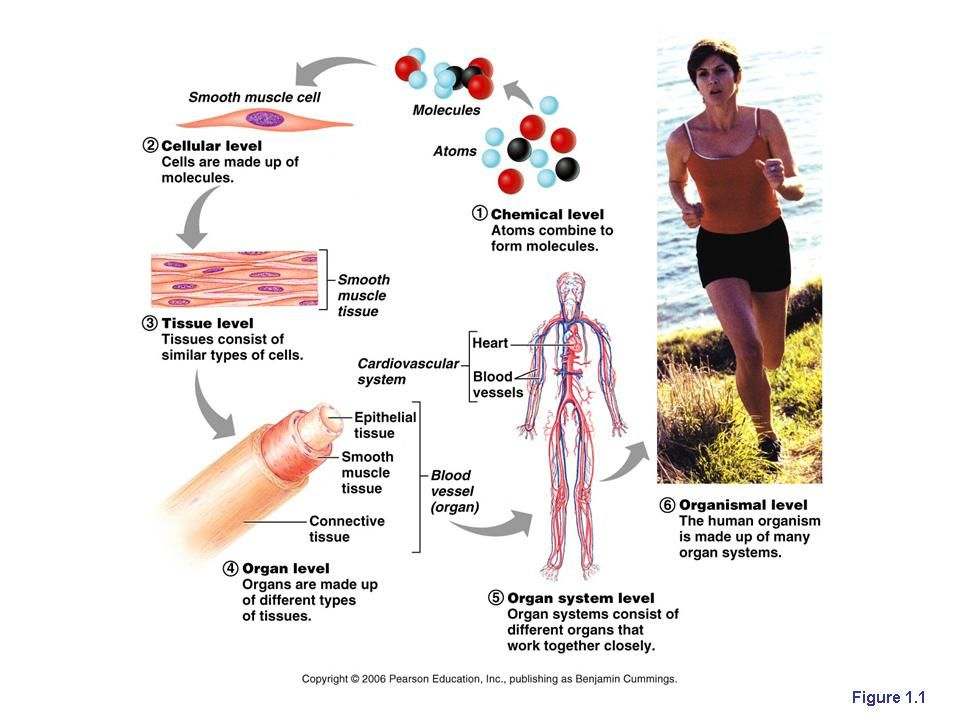 Levels Of Structural Organisation In The Human Body