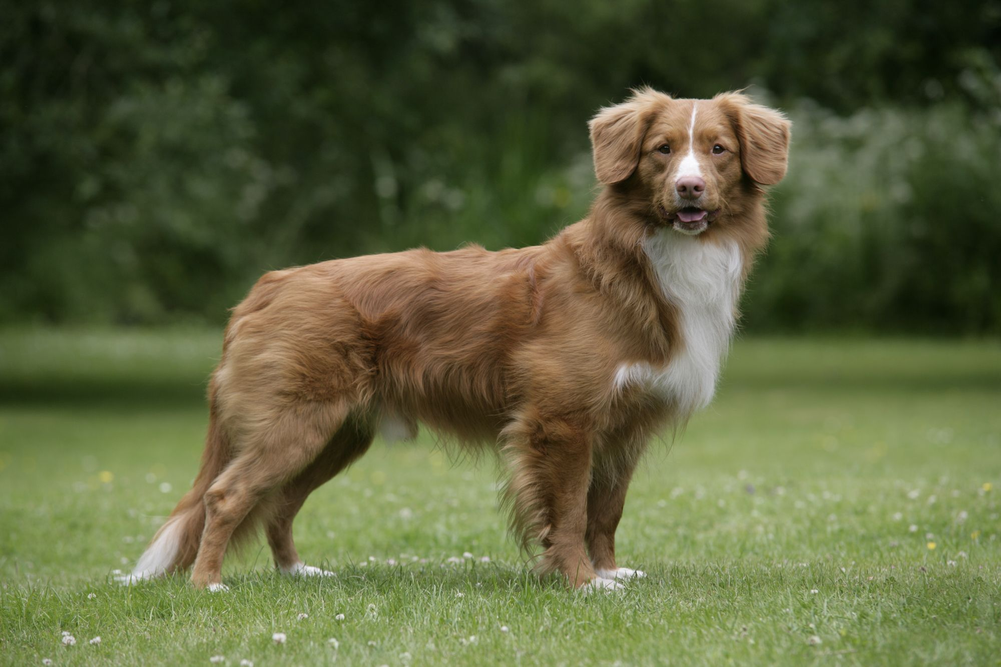 Whatafy We Have All The Answers For You Nova Scotia Duck Tolling Retriever Cute Dogs Breeds Dog Breeds