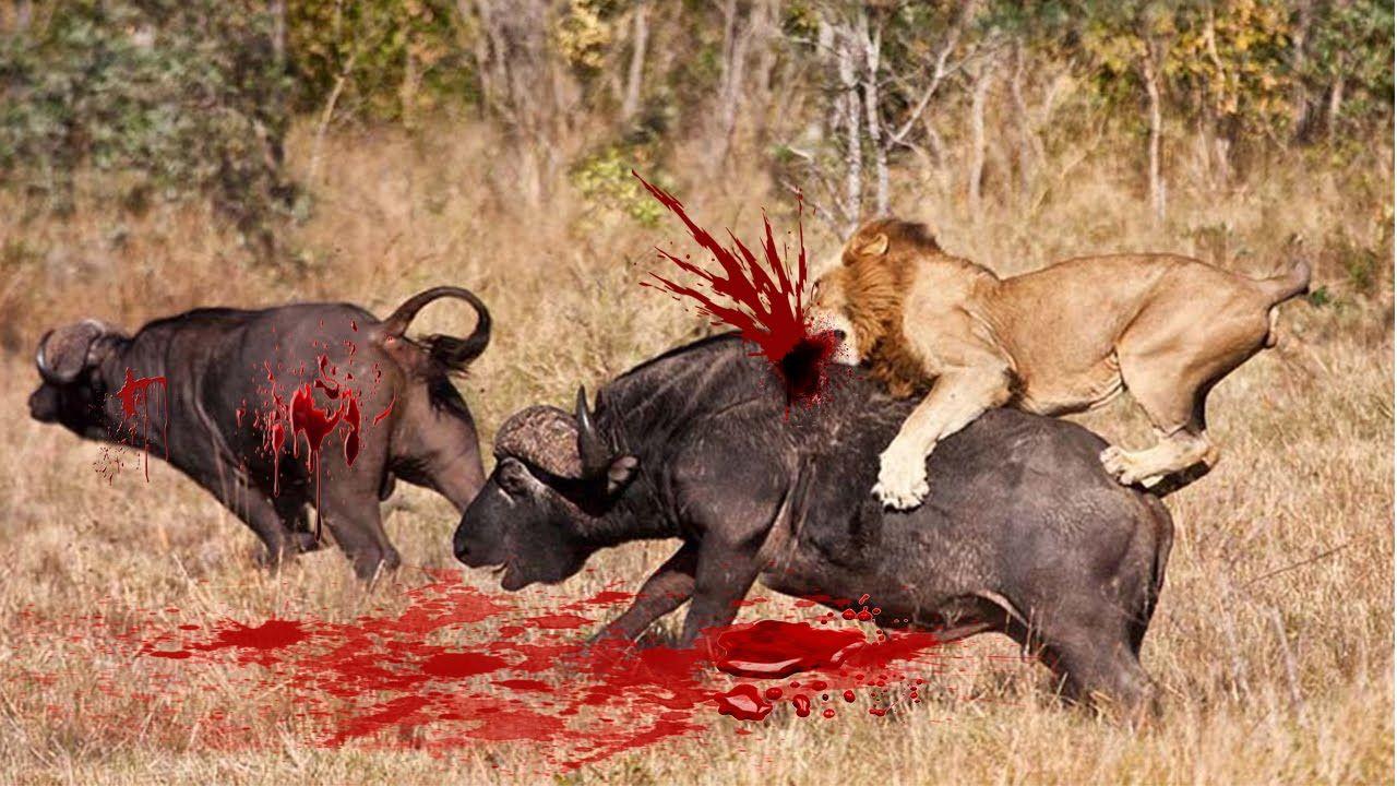 Lion Attack Baby Buffalo Tiger Attack Baby Buffalo Tiger