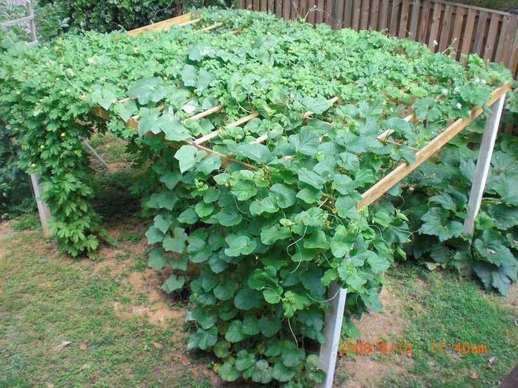 Image Result For Spaghetti Squash Plant Images Cucumber Trellis Diy Vertical Vegetable Gardens Bean Trellis
