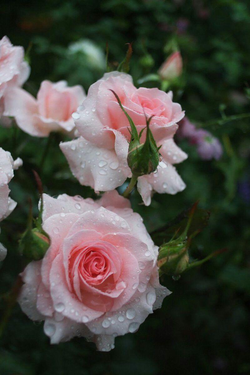 Т.И.Е. Фото из интернета. | Гибридные чайные розы, Розовые ...