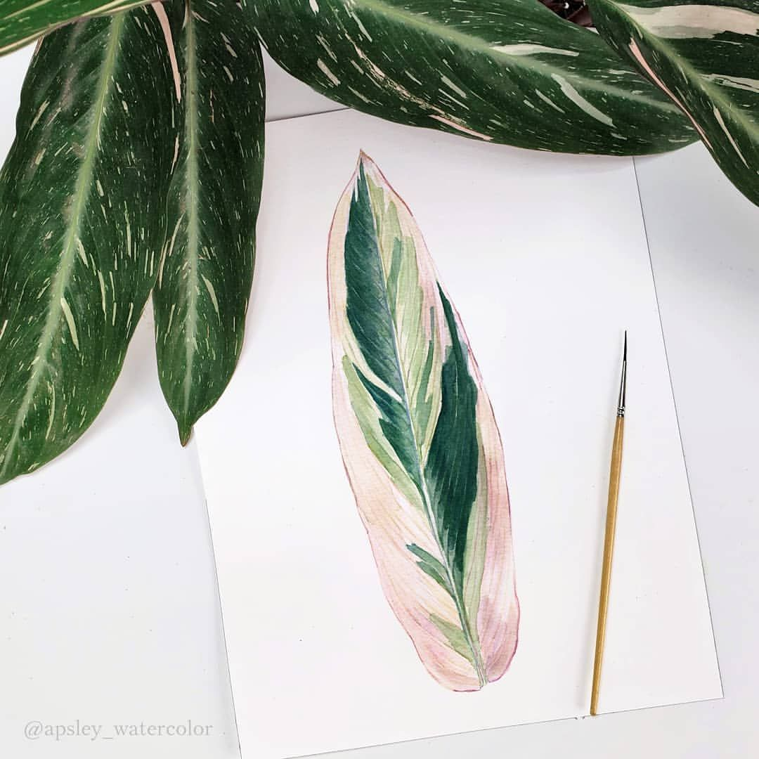 Stromanthe Sanguinea Triostar Leaf Painting Compared To Some Stromanthe Sanguinea Magic Star Leaves I Can T Deci Painted Leaves Leaf Drawing Plant Drawing