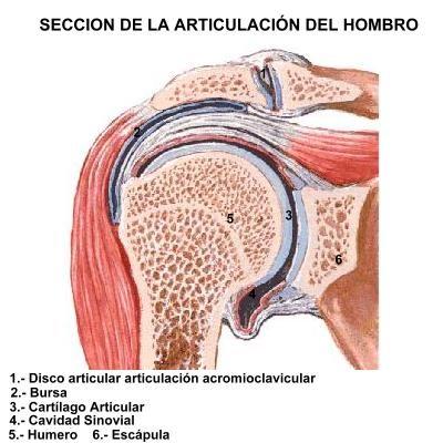 Corte frontal de la articulación del hombro. | SALUD NATURAL ...