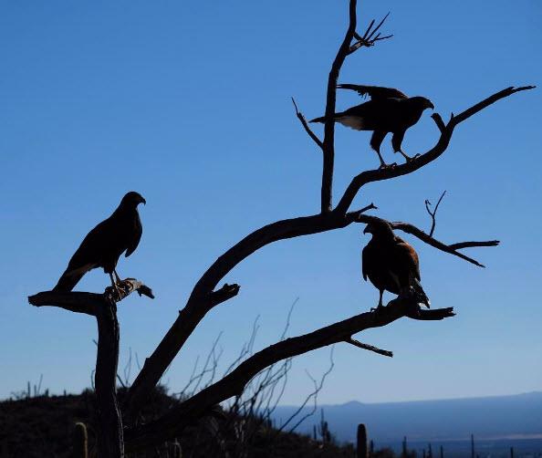 Harris Hawks Arizona Sonora Desert Museum Tucson Arizona Photo Via Instagram F5 6ok2 Things To Do Fort Huachuca Arizona
