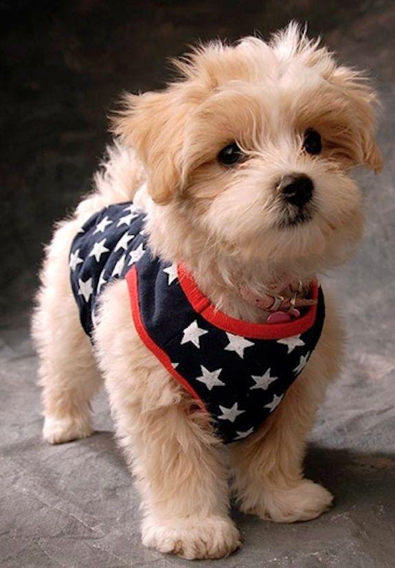 Pix For Golden Brown Maltipoo Puppies Puppies