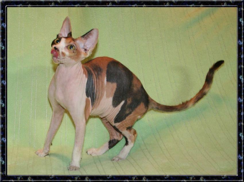 Sphynx Kitten Closeup 156 William Kaluta Photography Photograph by ...