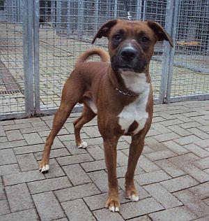 Rocky Boxer Schnauzer Podenco Mix Geb 2011 Hundesport Geeignet Wartet Im Tierheim Koln Http Presenter Comedius De Design Tierheim Hunde Hundesport