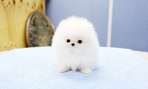 Top Quality Teacup Pomeranian Puppy Pomeranian Puppy Teacup