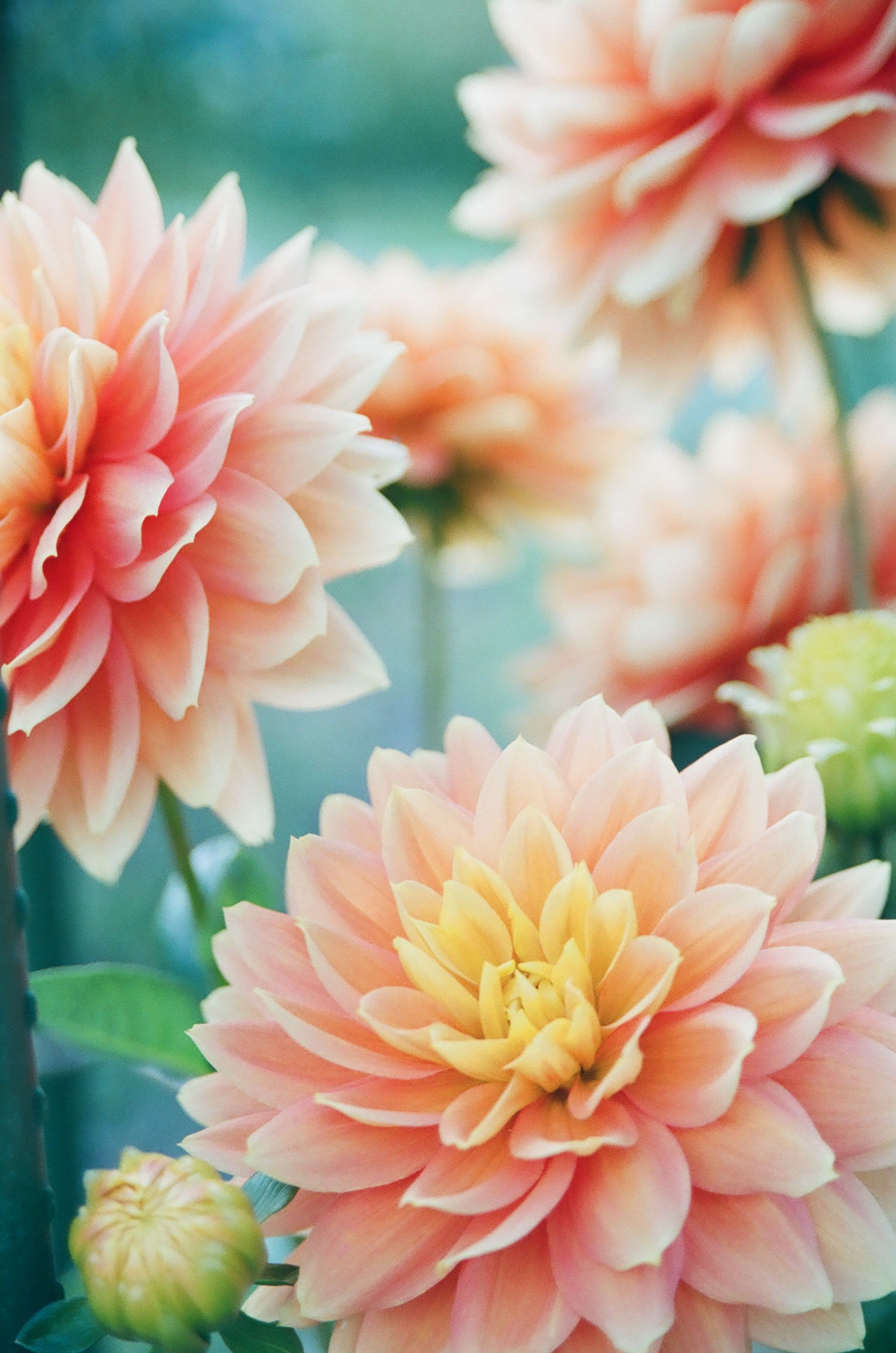 Pink Dahlia Flowers In Focus Photography Flower Pictures Flower Wallpaper Flowers
