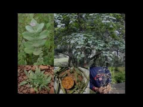 Medicinal Rice P5N Formulations for Scoparia Excess: Pankaj Oudhia's Med...